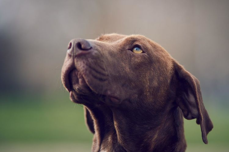 Adorable Animal Animal Body Part Animal Themes Beautiful Close-up Cute Day Dog Domestic Animals Lovely No People One Animal Outdoors Pet Photography  Pets Portrait Vizsla