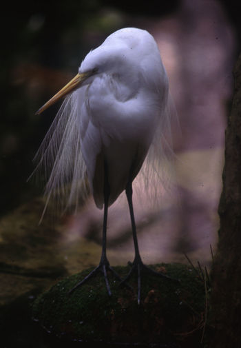 Snowy Egret Perching On Rock In Pond