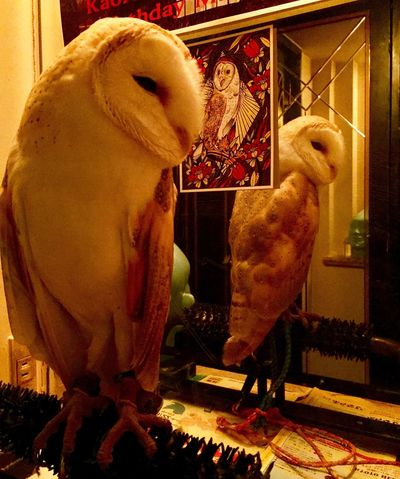 Pets Barnowl Owl Eule Uta KAWAII Atwork Kyoto Animal Themes Domestic Animals