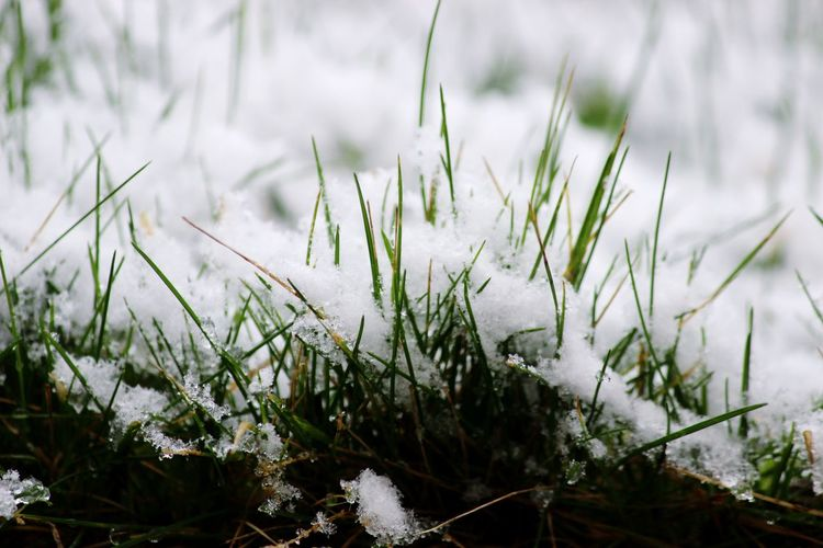 """""""White Grass"""" Nature Plant Growth White Color Grass Winter Beauty In Nature Day Field Snow Close-up Snowdrop Outdoors Cold Temperature No People Flower Fragility Freshness"""