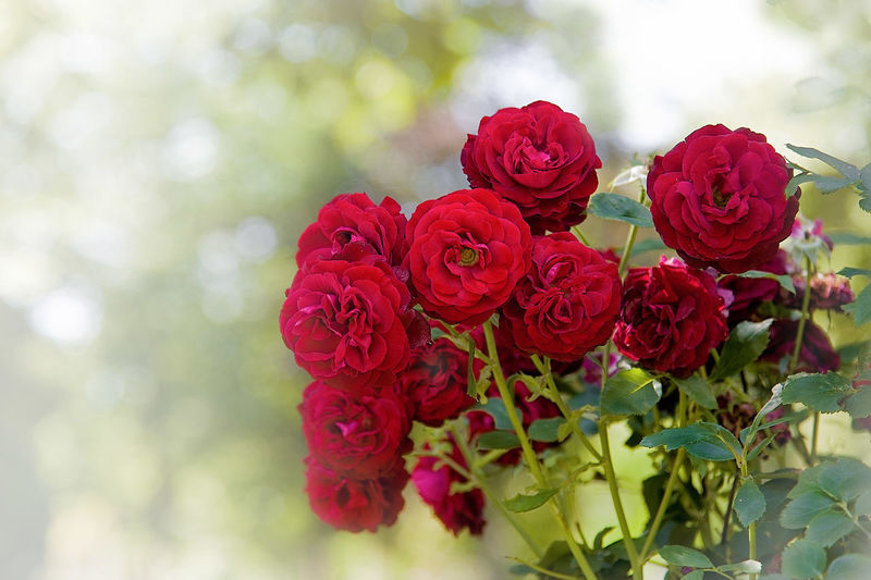 Flower Flowering Plant Beauty In Nature Red Rosé Plant Freshness Vulnerability  Fragility Petal Rose - Flower Close-up Inflorescence Flower Head Nature Focus On Foreground No People Flower Arrangement Day Outdoors Bouquet Bunch Of Flowers Rosenstrauch Park