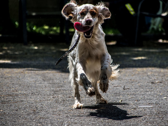 Front View Of Dog Running On Road