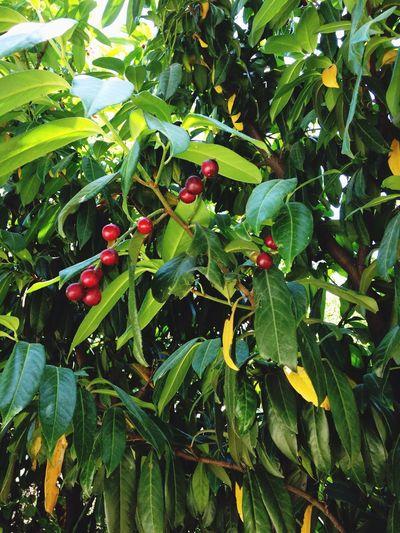 Karayemis Organic Meyva Bahce Garden Garden Photography Green Color Red No People Turkey Istanbul Istanbuldayasam Istanbulda1yer Fruit Karadeniz Kadını
