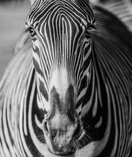 Zebra San