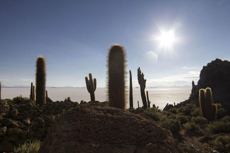 Cactus island in Salt Flats of Uyuni, Bolivia Bolivia Travel Uyuni Salt Flat Beauty In Nature Cactus Day Land Lens Flare Nature No People Non-urban Scene Outdoors Plant Rock Rock - Object Salt Flat Scenics - Nature Sky Solid South America Succulent Plant Sun Sunlight Tranquil Scene Tranquility
