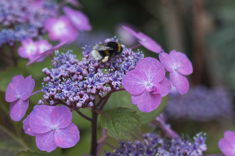 Close-up of bumblebee pollinating on purple hydrangeas
