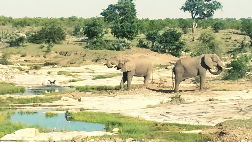 Elephants in the Kruger National Park, South Africa. Notice the spread out wings of a Saddle Billed Stork on the left. Bird Stork Bush Landscape African Elephant Elephant Outdoors Tree Water Animal Themes Nature Safari Animals Animal Mammal Animal Wildlife Animals In The Wild