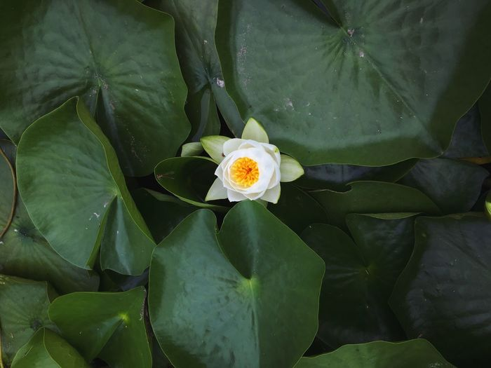 High angle view of white flower blooming in pond