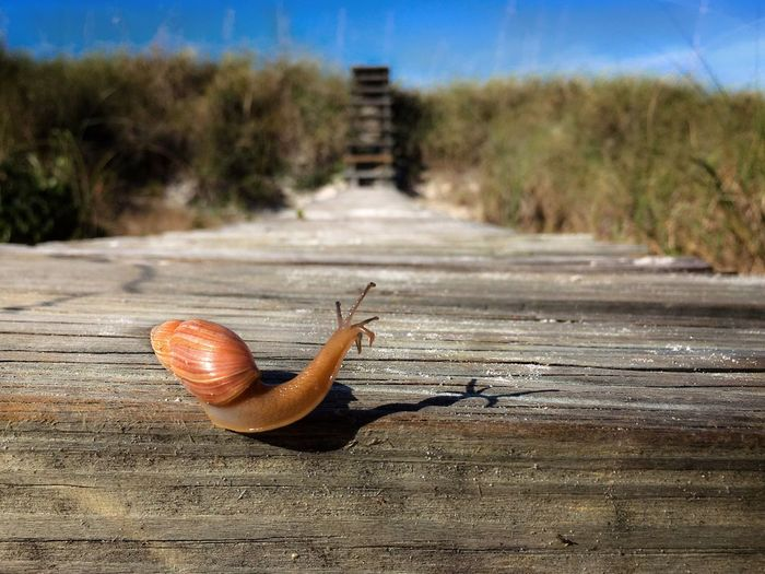 Snail Journey Distance Getting Ready Animal Shell Beach Florida IPhoneography IPS2016Nature IPS2016Closeup