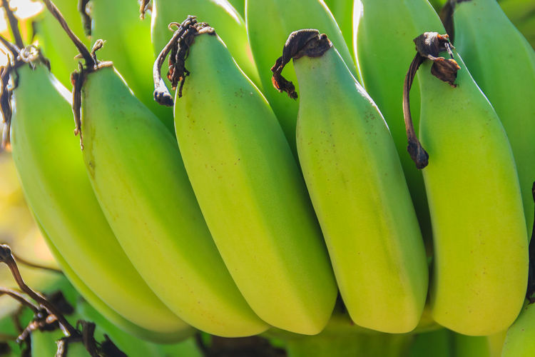 Close-up of bananas hanging on plant