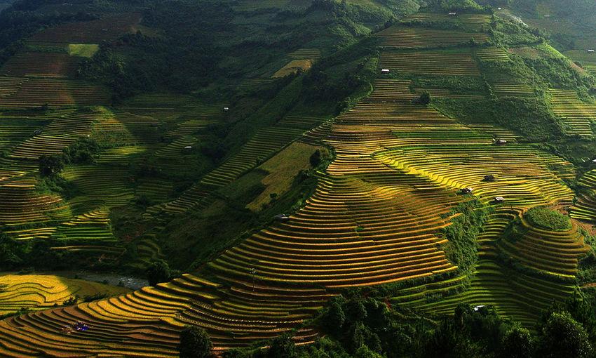 Full frame of rice paddy