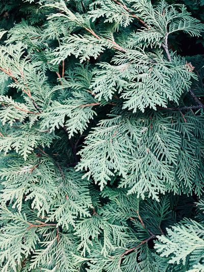 Green Color Growth Plant Full Frame No People Backgrounds Tree Nature Close-up Leaf Plant Part Beauty In Nature Branch Outdoors Pine Tree Coniferous Tree Needle - Plant Part Fir Tree Thuja Cypress Lush Foliage Background Pattern Pattern, Texture, Shape And Form Springtime Decadence The Minimalist - 2019 EyeEm Awards