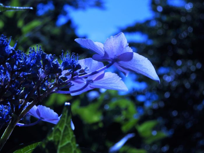 Hydrangea Plant Blue Close-up Flower Flower Head Nature No People Outdoor Photography Outdoors Petal Plant