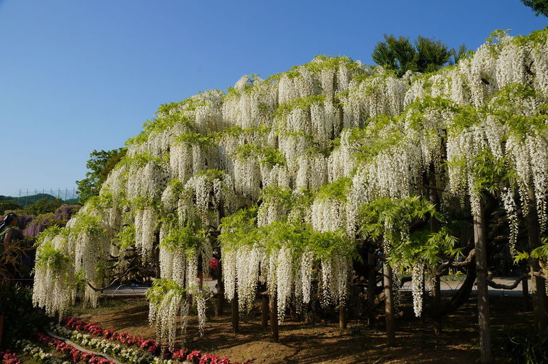 Nature Tree 白藤 藤 藤の花