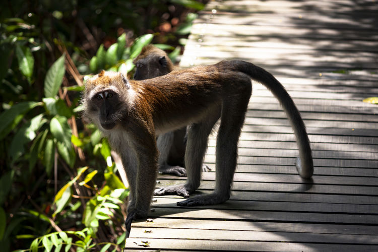 View of an long tailed macaque