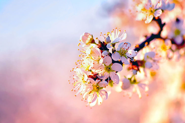 Flower Flowering Plant Freshness Plant Beauty In Nature Blossom Springtime Fragility Tree Pink Color Vulnerability  Nature Growth Branch Close-up Cherry Blossom No People Petal Flower Head Outdoors Cherry Tree Pollen Bunch Of Flowers Softness