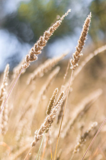 Wheat Cereal Plant Rye - Grain Rural Scene Agriculture Ear Of Wheat Field Crop  Close-up Sky Dandelion Seed Straw Barley Wildflower Oat - Crop Plant Stem Uncultivated Haystack Stalk Farmland Seed Dandelion Bale  Wholegrain Combine Harvester