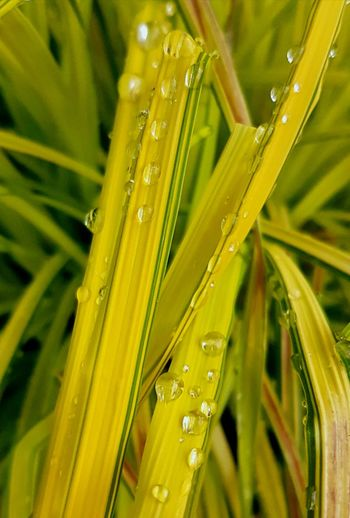 Nature Close-up Drop Green Color Water Fragility Wet Beauty In Nature No People Yellow Springtime Outdoors Nature On Your Doorstep Beauty In Nature Green Color Leaf Green Nature Naturephotography Plant Life Green Leaves Yellow And Green Yellow Leaf