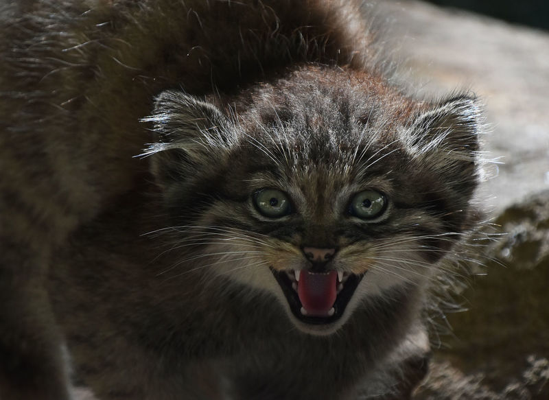 I'm not a good pet! Manul (The Pallas's cat or Otocolobus manul) only looks so cute as a toy, but truth is that this kitten is pretty dangerous predator animal you would not want to keep at home Looking At Camera Manul Otocolobus Manul Pallas's Cat Roar Wildlife & Nature Wildlife Photography Anger Animal Themes Animals In The Wild Close-up Feline Kitten Looking At Camera Mammal Mouth Open Nature One Animal Outdoors Portrait Small Small Cat Whisker Wild Wildlife