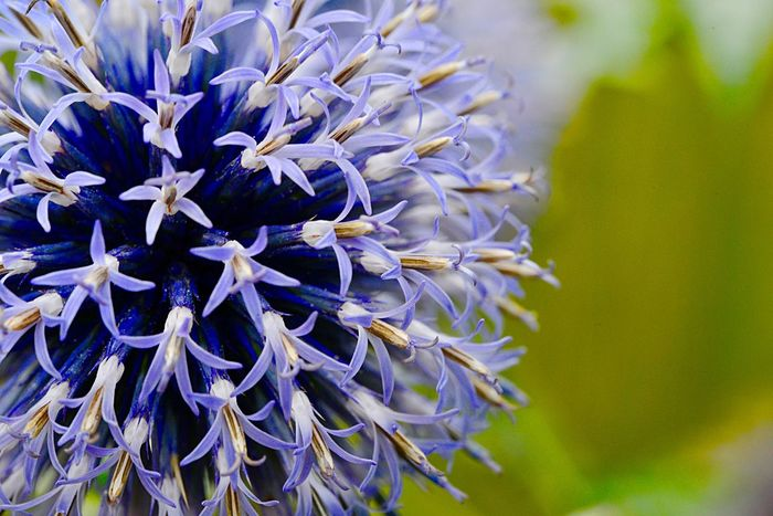Southern Globethistle Echinops Ritro Flower Flowering Plant Plant Beauty In Nature Vulnerability  Fragility Growth Nature Petal Inflorescence Flower Head No People Purple Day Freshness Close-up Focus On Foreground Selective Focus Botany