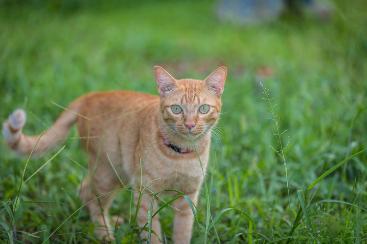 Animal Animal Themes Cat Domestic Domestic Animals Domestic Cat Feline Field Ginger Cat Grass Green Color Land Looking At Camera Mammal Nature No People One Animal Pets Plant Portrait Tabby Vertebrate Whisker