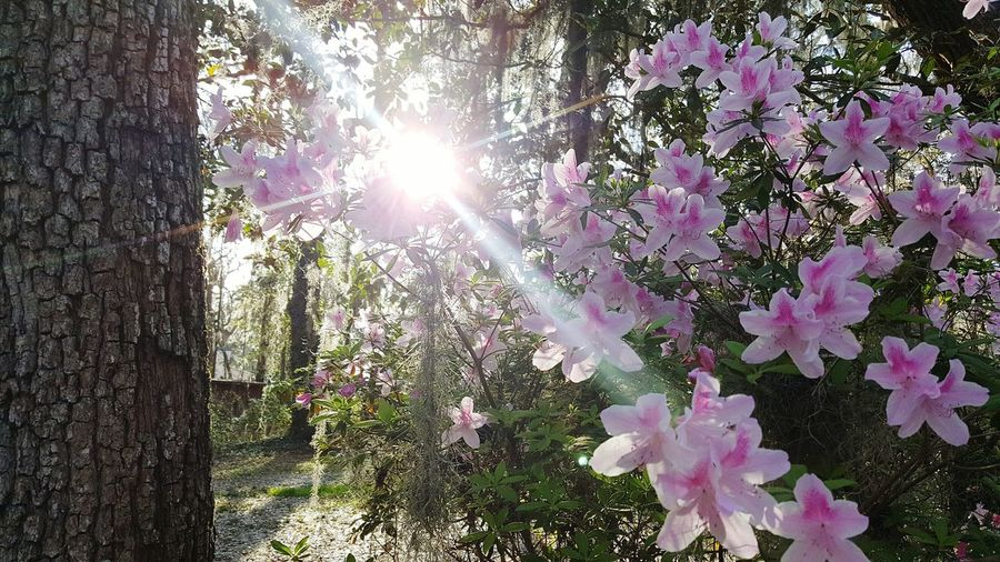 Tree Growth Nature Beauty In Nature Flower Freshness Low Angle View Sunlight No People Branch Sunbeam Fragility Day Plant Outdoors Sun Close-up Sky EyEmNewHere Springtime Shadow And Light Spotlighting Cast Shadows Sunrays Sunlight Azalea Blossoms EyeEmNewHere