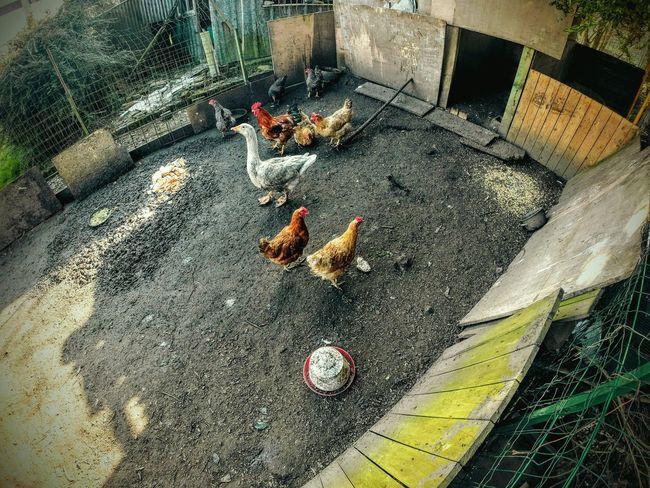 Le poulailler... Poulailler Poule Poulet Kip Coq Ferme Nature Go Pro Is Perfect!!! Go Pro Go Pro Hero 3 Urban Landscape POV HDR
