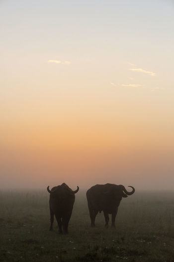Two cape buffalo stand silhouetted at dawn