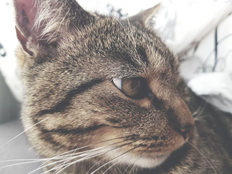 EyeEm Selects Domestic Cat Close-up Babyboy Relaxation No People Animal Soft Love Animal Head  Indoors  Vlaardingen Pet Portraits