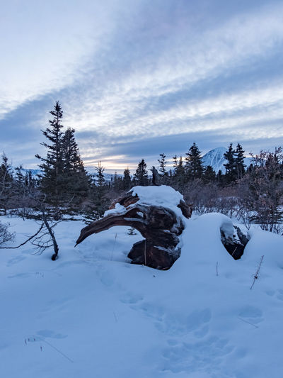 wild tree stump Beauty In Nature Blue Hour Canada Cloud - Sky Clouds And Sky Cold Temperature Cold Temperture Day Dusk Landscape Landscape_photography Nature No People Outdoor Outdoors Sky Snow Sunset Tranquil Scene Tranquility Tree Tree Stump Winter Winter Yukon Territory
