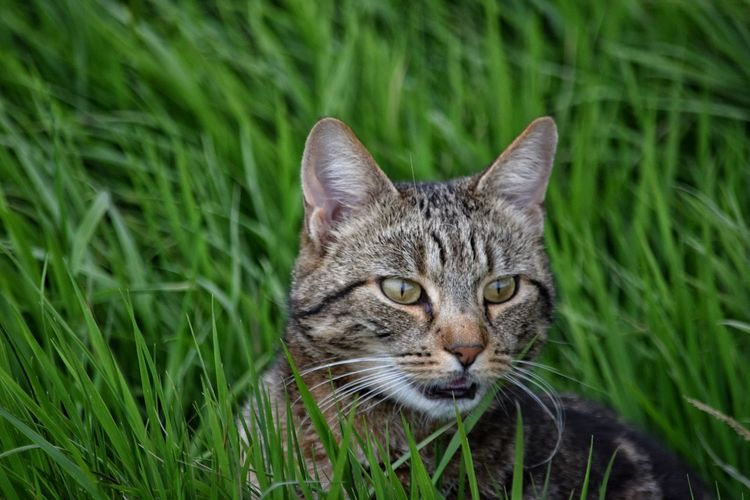 One Animal Domestic Animals Animal Themes Domestic Cat Portrait Pets Looking At Camera Grass Outdoors Green Color Tortoise Shell Feline Companions Cats Of EyeEm Feline Friend Feline Photography, Cat Feline Portraits Cat Lovers Fur Day No People Mammal Feline Close-up Nature