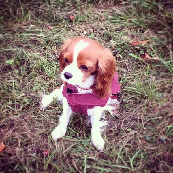 Burgunde Bestfriend Cavlife Cavalier King Charles Spaniel Dog Ilovemydog Beauty Cute Pets