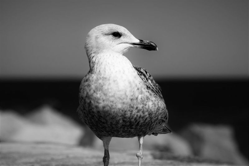 Animal Themes Bird Black And White Blackandwhite Close-up Day EyeEm Best Edits EyeEm Best Shots EyeEm Gallery EyeEm Nature Lover Focus On Foreground Outdoors Seagull Selective Focus Wildlife