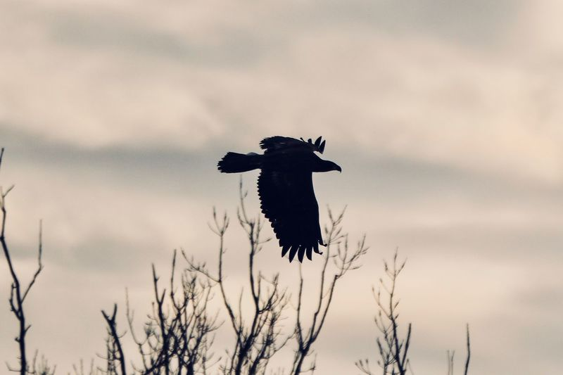 Silhouette of Eagle in Flight EyeEm Selects Vertebrate Bird Animal Animal Themes Animals In The Wild Animal Wildlife Sky One Animal Cloud - Sky Bird Of Prey Flying No People Nature Silhouette Mid-air Spread Wings Plant Low Angle View Outdoors Tree
