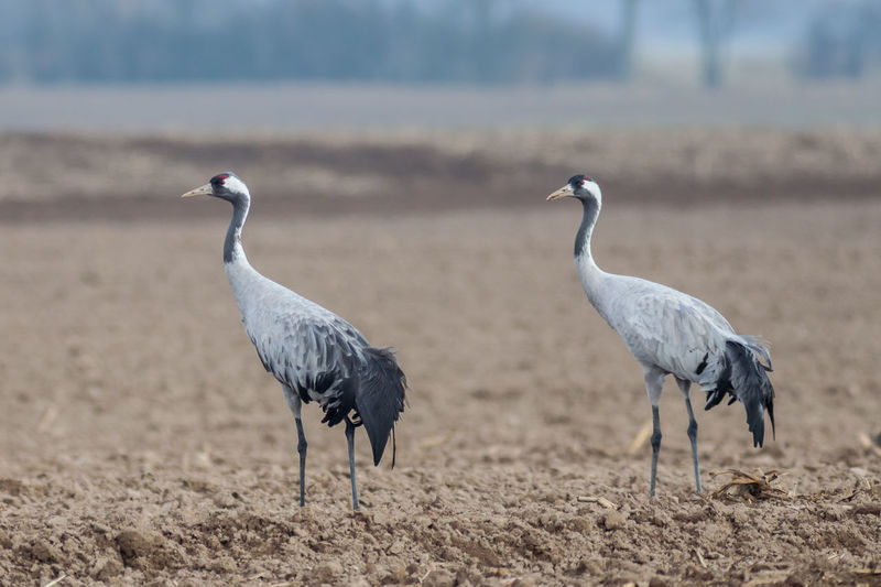 Eurasian cranes on ground