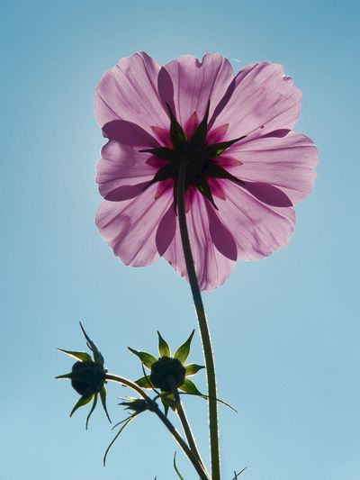Low angle view of pink flower growing against clear sky
