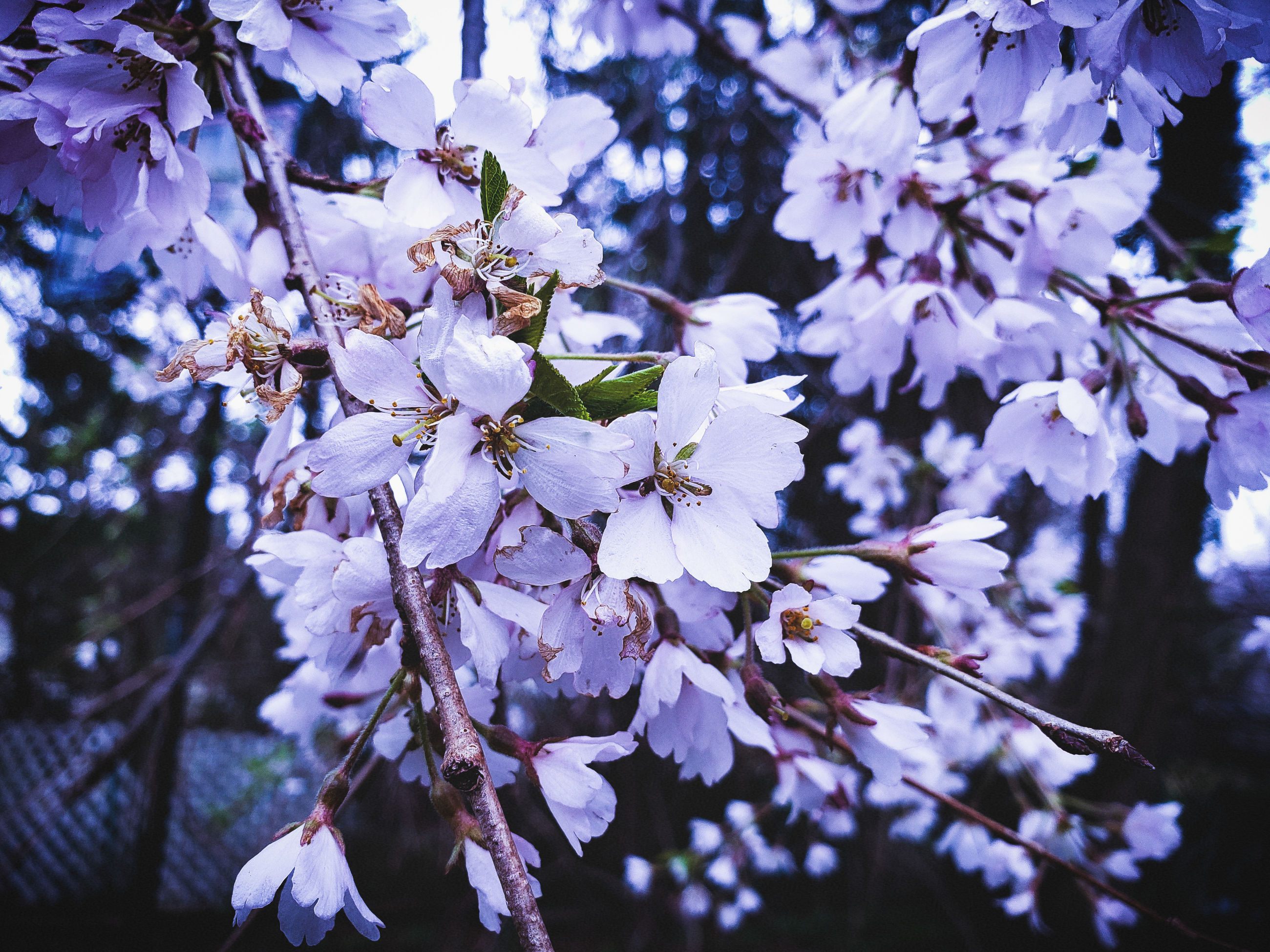 flower, flowering plant, plant, fragility, freshness, vulnerability, growth, beauty in nature, blossom, tree, petal, springtime, branch, close-up, focus on foreground, flower head, nature, inflorescence, day, twig, pollen, no people, cherry blossom, outdoors, cherry tree, spring