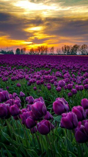 Tulip Tulips🌷