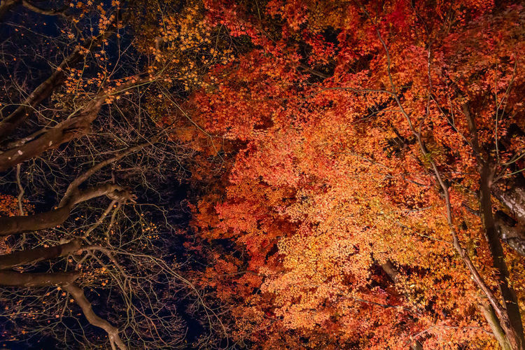 EyeEmNewHere Japan Nightphotography Travel Autumn Autumn Collection Backgrounds Beauty In Nature Branch Change Fall Forest Full Frame Growth Leaf Natural Condition Nature Night No People Orange Color Outdoors Plant Red Travel Destinations Tree
