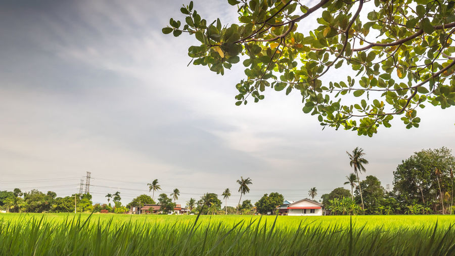 Paddy field in Penang Countryside Agriculture Beauty In Nature Cloud - Sky Day Field Grass Green Color Growth Land Landscape Nature No People Outdoors Paddy Field Plant Rural Scene Scenics - Nature Sky Tree