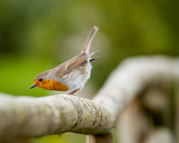 Animal Themes Animal Wildlife Animals In The Wild Bird Close-up Day Focus On Foreground Nature No People One Animal Outdoors Perching Selective Focus