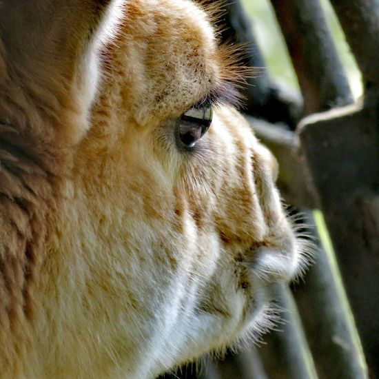 Animal Captivity Animal Zoo Animal Cage Lama Close-up Captivity