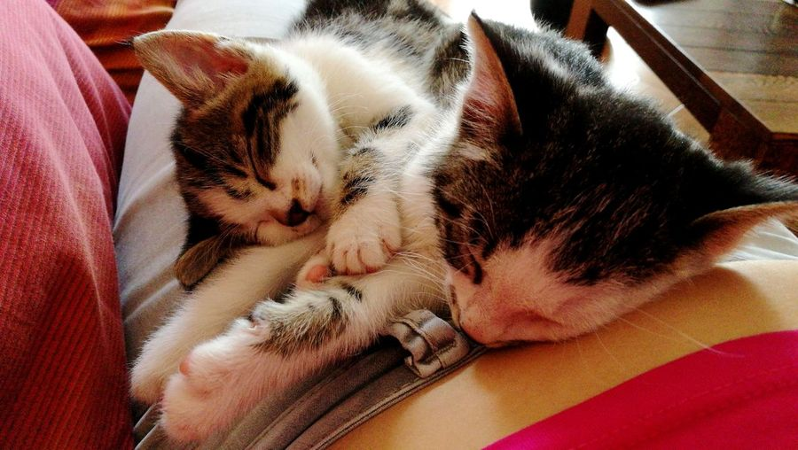 Pets Domestic Cat Domestic Animals Feline Sleeping Animal Themes Indoors  Relaxation Love ♥ Brother & Sister Family Beautiful Moments Pet Portraits