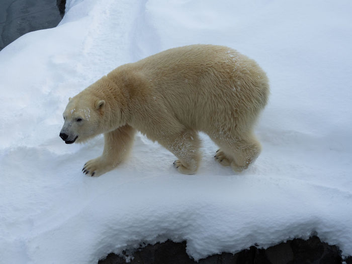 Snow Cold Temperature Winter Animal Themes Animal Mammal Bear Polar Bear Animal Wildlife Animals In The Wild One Animal White Color Nature Vertebrate Ice Hunting No People Survival Outdoors Meteorology