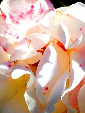 Yellowish Backgrounds Full Frame Flower Beauty In Nature No People Close-up Flowering Plant
