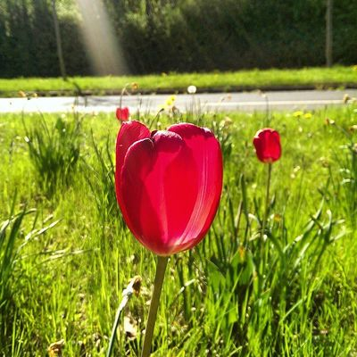 """One touch of nature makes the whole world kin"" _William Shakespeare Red Tulips Nature Colors greenday"