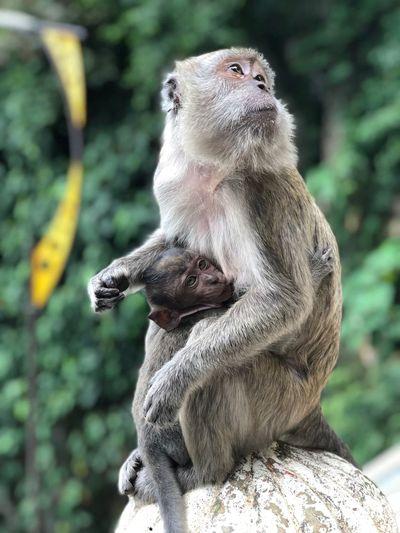 Close-up of monkey breastfeeding her baby