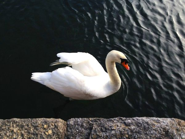 Mute Swan Afloat Feathers Marina Mute Swan Swimming Animal Themes Animal Wildlife Animals In The Wild Beauty Bird Brighton Marina Close-up Day Feather  Nature Neck No People Ocean One Animal Outdoors Sea Swan Swimming Birds Water White