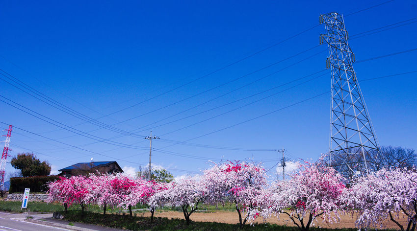 Beauty In Nature Blossom Bluesky Colorful Flower Flowers Growth Nature Peach Peach Blossom Pink Pink Color Pink Flower Plants Sky Spring カラフル ピンク ピンクの花 春 桃の花 植物 源平桃 空 電線