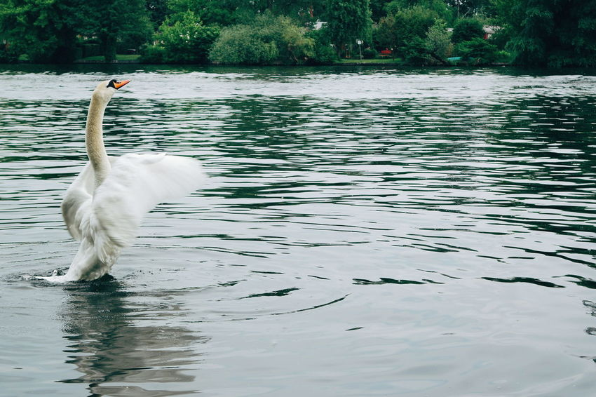 Nature's Diversities Swan Fly Nature_collection Nature Photography Animals In The Wild Animals The Great Outdoors - 2016 EyeEm Awards The Moment - 2016 Eyeem Awards